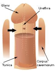 Hard uncircumcised penis erect