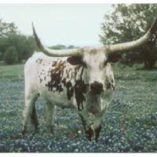 Texas longhorn moby dick