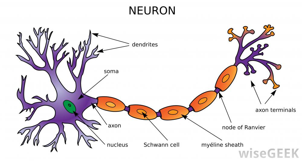 Nervous system neurons