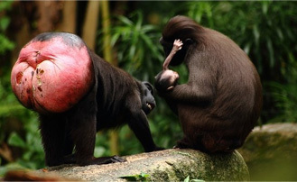 Funny looking monkey butts