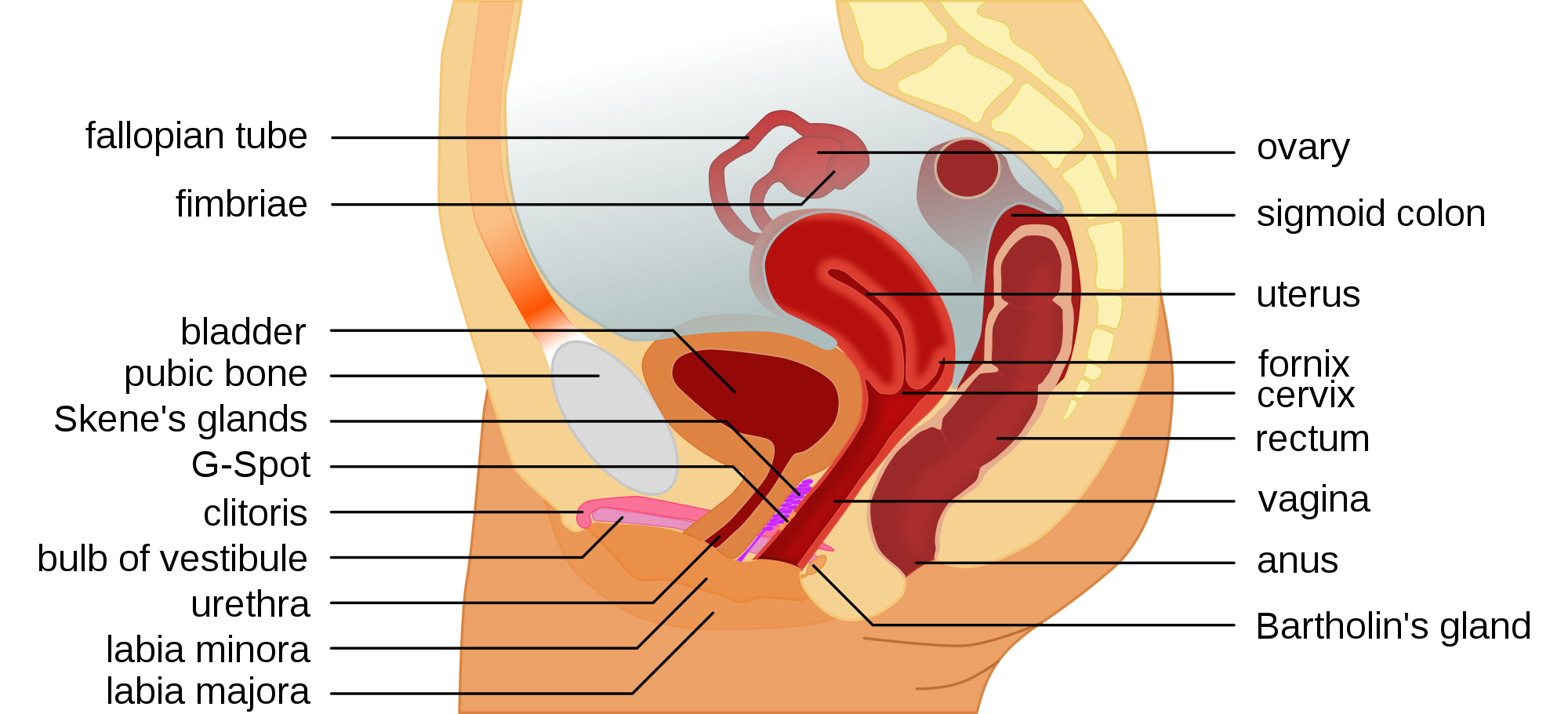 G spot diagram