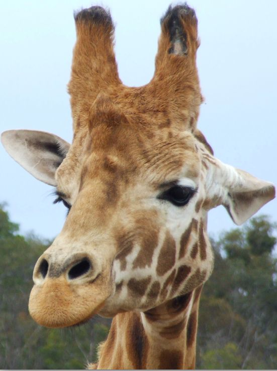 Giraffe having sex hard core