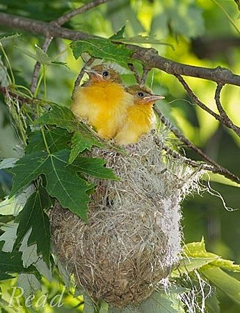 Beautiful pictures of yellow birds nests